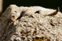 Mongoose unido Fotos de Stock