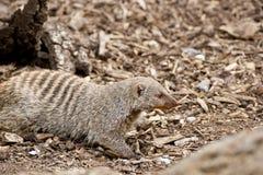 Mongoose unido Fotografia de Stock Royalty Free