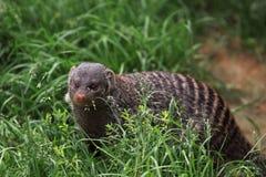 Mongoose unido Imagem de Stock Royalty Free