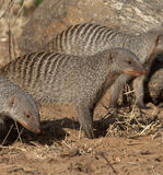 Mongoose unido - Botswana. Fotografia de Stock Royalty Free