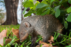 Mongoose Up Close Royalty Free Stock Images