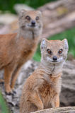 Mongoose watch. Mongoose pair in the Cotswold Wildlife Park, Oxfordshire, UK Stock Image