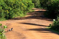 Mongoose is watching its road. Cattle walking in Yala national park in Sri Lanka Royalty Free Stock Photos