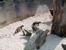 Mongoose in a zoo or a safari park in England Stock Photography