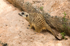 Mongoose in the zoo Stock Image