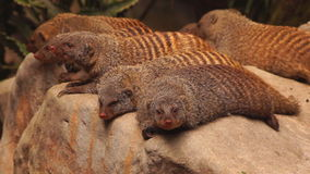 Mongooses Stock Photography