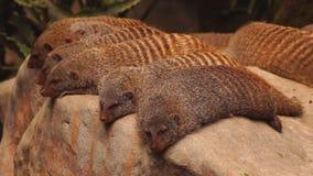 Mongooses stock video