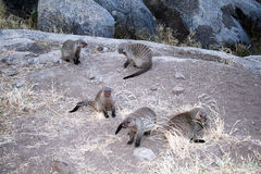 Mongooses Stock Photos