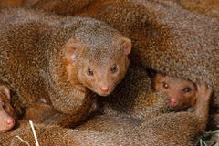 Mongooses, cubs. Stock Photos