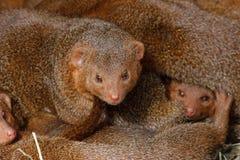 Mongooses, cubs. Stock Photos