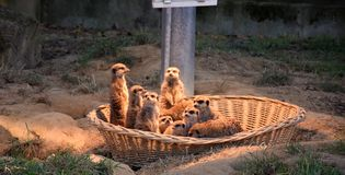 Mongooses , Germany Royalty Free Stock Images