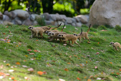 Mongooses Stock Photos