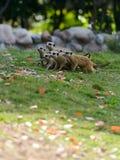 Mongooses Royalty Free Stock Photos