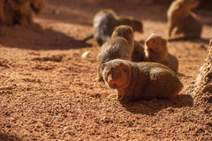Mongooses Royalty Free Stock Photo