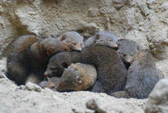 Mongooses Huddled Together for Warmth Royalty Free Stock Photography