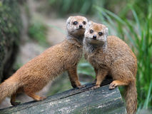 Mongooses Stock Images