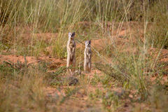 Mongooses standing Stock Photography