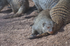 Mongooses in the sun Royalty Free Stock Photography