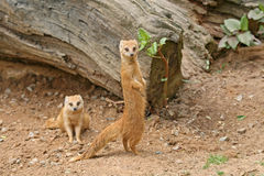 Mongooses in a Zoo. Two red mongooses in a Zoo Stock Image