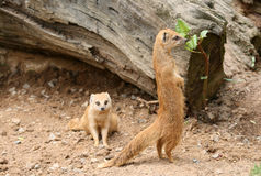 Mongooses in a Zoo. Two red mongoose in a Zoo Stock Images