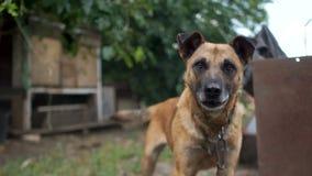 Mongrel εξετάζει interestedly τη κάμερα, αυξάνοντας τα αυτιά του Αγροτικό σκυλί αλυσίδων, στενό πορτρέτο απόθεμα βίντεο