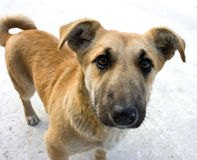 mongrel σκυλιών Στοκ Φωτογραφίες