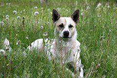 Mongrel. The white mongrel dog sitting in dundellion field Royalty Free Stock Photography