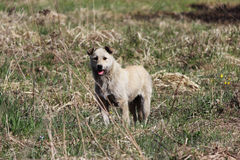 Mongrel beige dog is standing in a vacant lot. Royalty Free Stock Photography