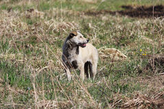 Mongrel beige dog is standing in a vacant lot. Royalty Free Stock Images