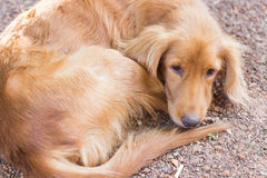 Mongrel brown dog laying on the ground Stock Photos
