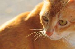 Mongrel cat. Gold mongrel mixture cat closeup Stock Photography
