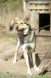 Mongrel crossbreed dog guarding. The site on a chain Stock Photography