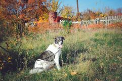 mongrel cute dog sits on the grass royalty free stock image