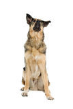 Mongrel dog Stock Images