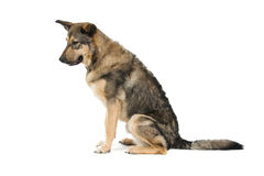 Mongrel dog Stock Image