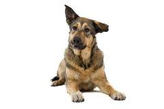 Mongrel dog stock image