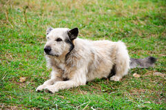 Mongrel dog Royalty Free Stock Image