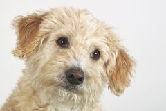 Mongrel dog. Looks in the camera on white background Stock Image
