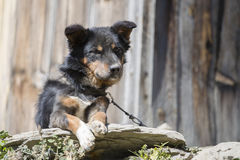 Mongrel dog on a chain outdoors in private home. Nepal. Royalty Free Stock Images