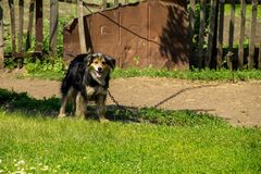 Mongrel dog on a chain in the village guarding the homestead. Dog in the yard Stock Photography
