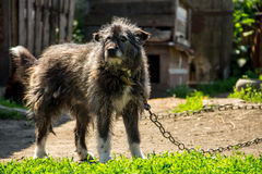 Mongrel dog on a chain in the village guarding the homestead. Dog in the yard stock photo
