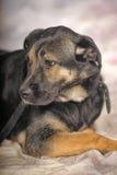 Mongrel dog Stock Images