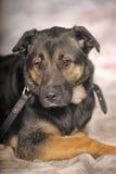 Mongrel dog Royalty Free Stock Photography