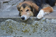 Mongrel dog. In front on natural Stone Stock Photography