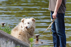 Mongrel dog on a leash with the owner Stock Photo