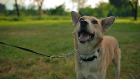 Mongrel dog on a leash in the park. The doggy wags its tail and smiles. Close to dog`s face