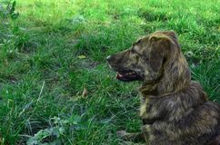 A mongrel dog lies in profile on a green meadow, a dog on the grass Stock Photo