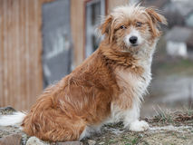 Mongrel dog. Looking at the camera outdoors Stock Images