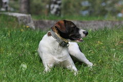Mongrel dog Royalty Free Stock Photos
