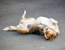 Mongrel dog lying on the asphalt Royalty Free Stock Images